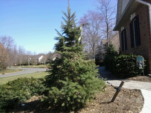 Stake Up a Blue Spruce for Stability
