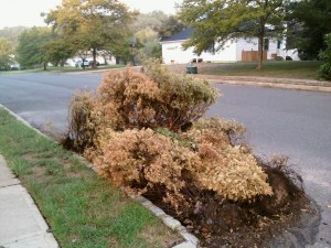 Dead Arborvitaes