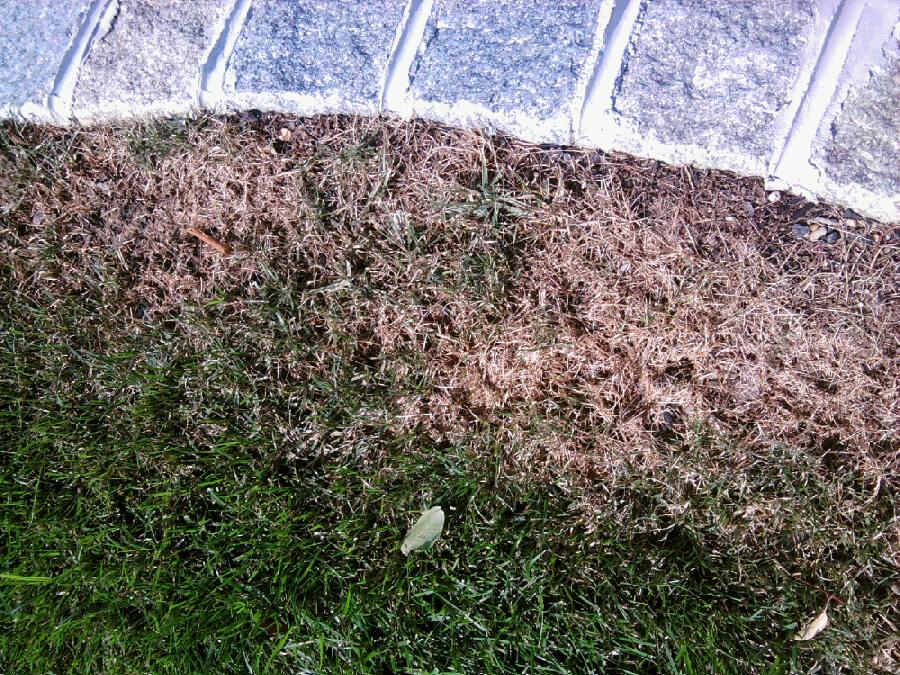 Summer Lawn Fungus Disease