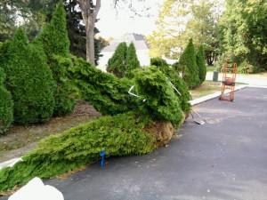 Replacement Arborvitaes