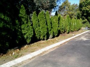 Replanted Arborvitae Row