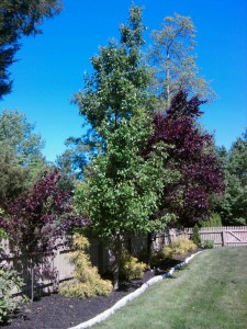 Bradford Pear Tree and Purple Leaf Plum