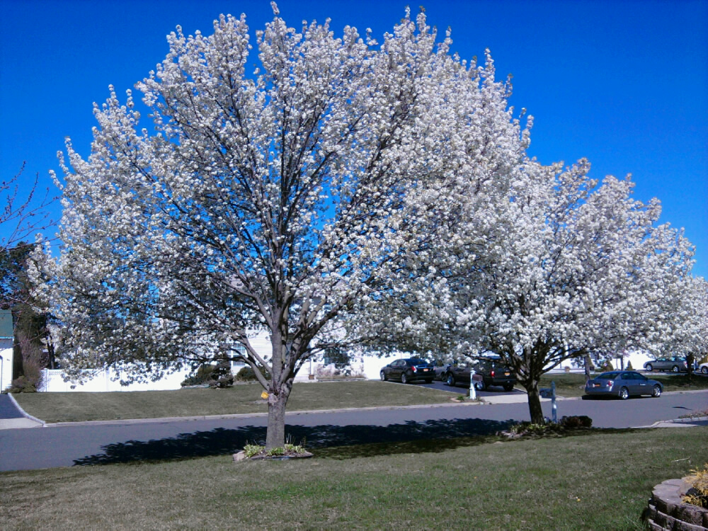 Landscaping With Pear Trees : The bradford pear a gorgeous landscaping tree all
