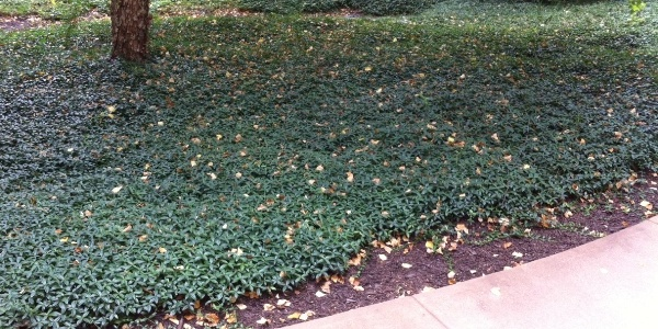Switching from Mulch to Ground Cover