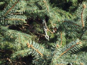 Duckbill Earth Anchor Turnbuckle On Blue Spruce