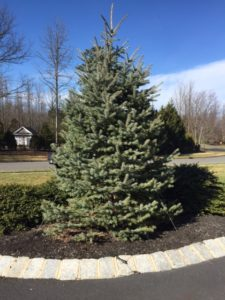 Duckbill Earth Anchored Blue Spruce Landscape Tree with Guy Wires