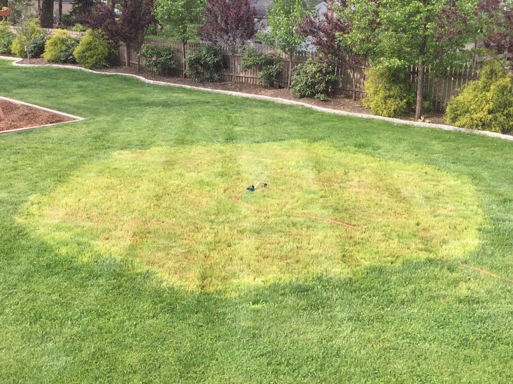Lawn Repair Patching A Large Area With Kentucky Bluegrass