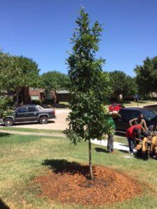 Red Oak Planted In Intense Summer Heat